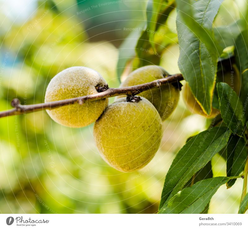 yellow fruit on a branch with green leaves close-up food garden leaf natural