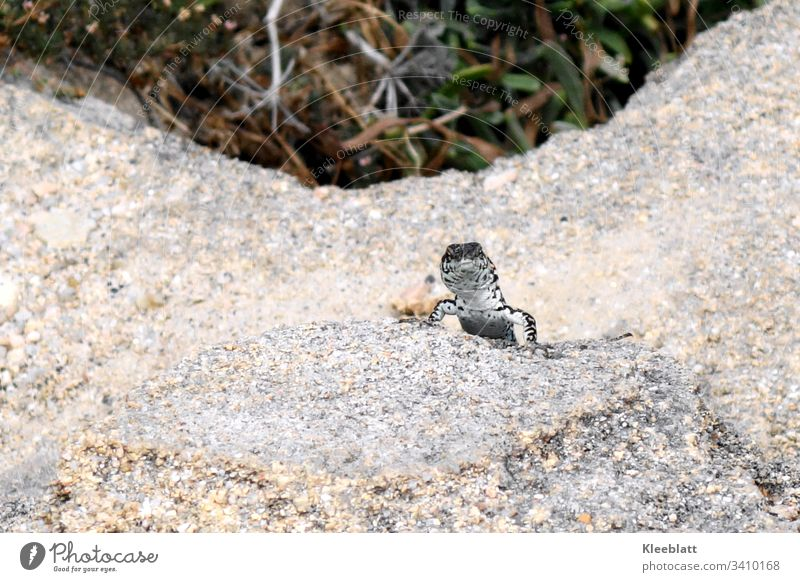 Reptile, lizard curious in rocky surroundings Reptiles Animal Rock grey green background Animal white and grey Close-up natural lighting conditions Deserted