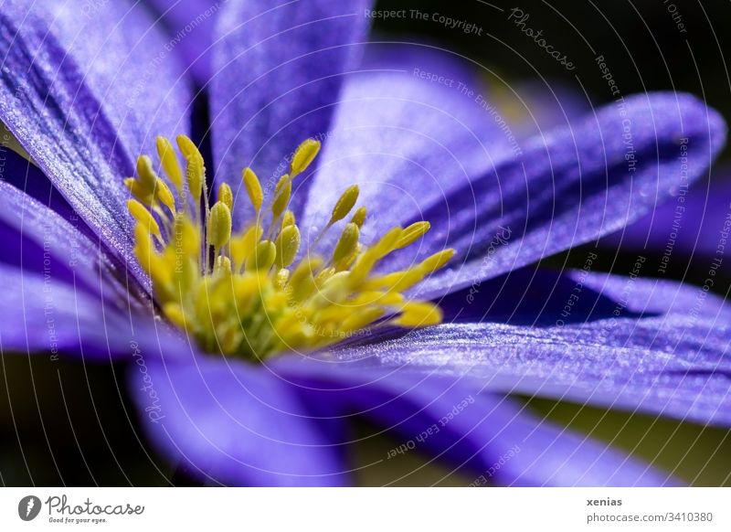 purple anemone with yellow stamens Blossom Flower Violet Yellow Spring Plant Nature Elegant Nectar Pollen Blossoming Stamen Spring Anemone
