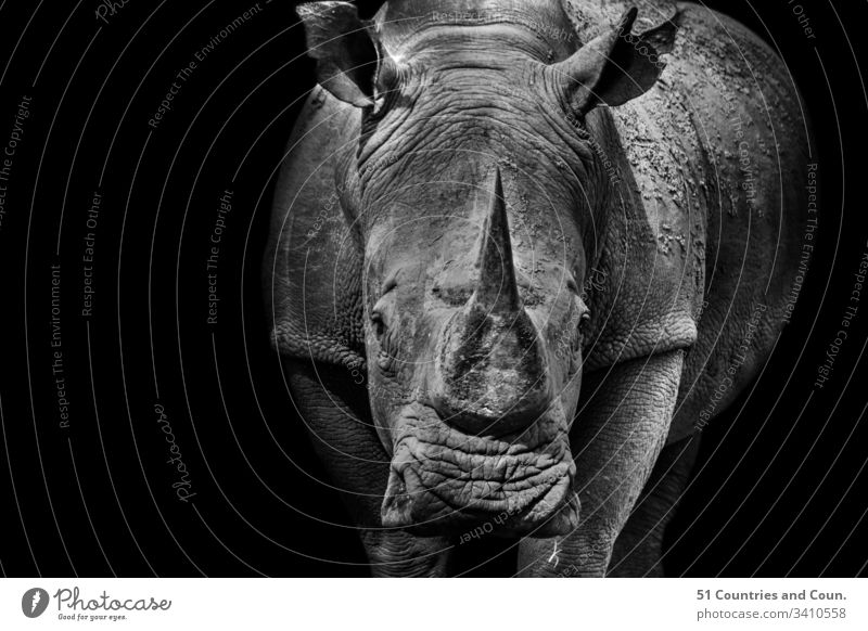 Black and White images of a Rhino, South Africa Big 5 Birds Europe Travel african animals antelope asia buck elephant explore hippo india landscape landscapes