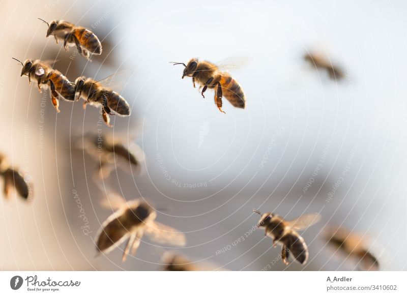 Honey bees in flight Beehive bee colony Honeybees Animal Exterior shot Bee-keeping Nature Food Bee-keeper Summer Apiary Work and employment Colony animals