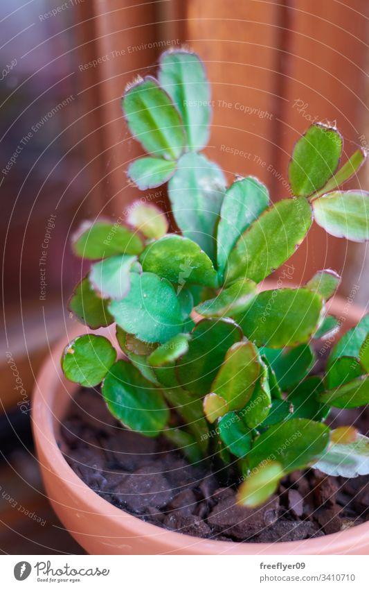 Desertic plant growing on a flower pot Succulent sempervivum natural cactus botany botanical rosette flora hen green drought summer spring structure stone