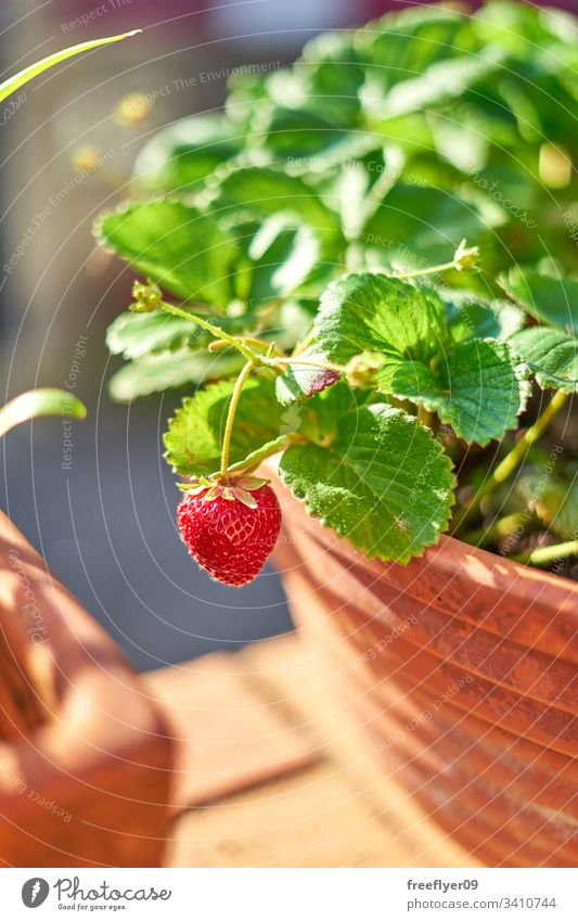 wild strawberries growing on a flower pot fruit flowerpot plant strawberry plant gardener bucket crop leaf organic freshness diet single natural healthy red