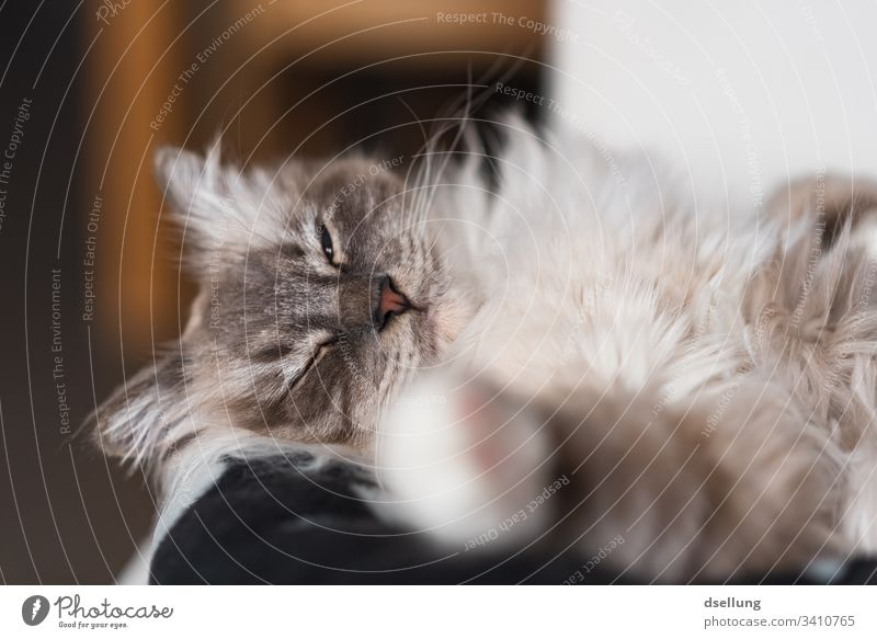 Relaxed cat with paw in the foreground Animal Pet Cat holy Burma 1 Relaxation Lie Looking Beautiful Cute White Central perspective Colour photo Deserted