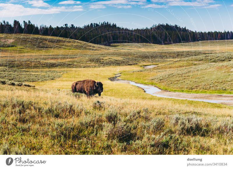 Bison on a meadow landscape with river and forest in the background discovery Summer vacation Multicoloured Perspective Marvel admiring Discover adventurous