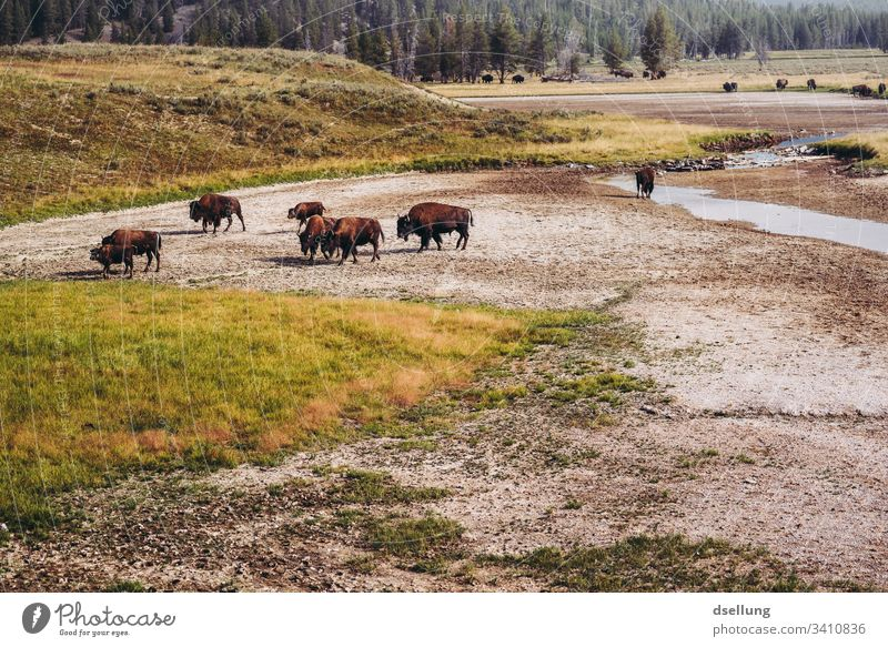 Herd of bison in movement on barren ground with forest in the background Sunlight Day Neutral Background Deserted Exterior shot Subdued colour Colour photo