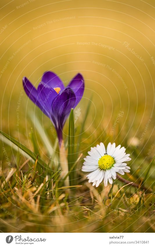 Heralds of spring, blue crocus with daisies Nature Plant Flower Blossom Spring Spring flowering plant Bellis Daisy Blossoming Colour photo Exterior shot