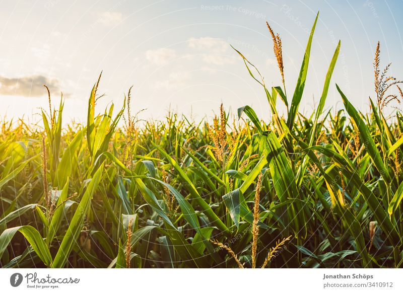 Corn field in late summer in the evening sun Autumn Evening sun agriculturally Agriculture Rear light Back-light background Barley Blue sky Cereal Maize country