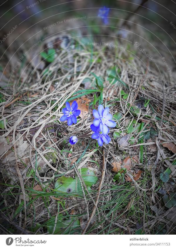 roadside flowers Spring fever Plant Blossom Flower Blossoming Nature Wayside little flowers Austria To go for a walk Blue