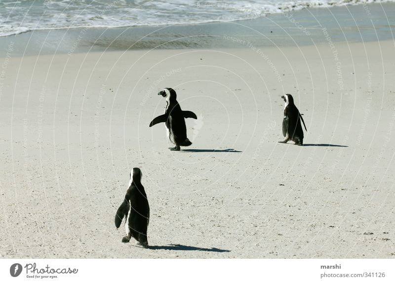 off to the cool... Nature Sun Weather Beautiful weather Coast Ocean Animal 3 Group of animals Warmth Penguin Water Walking Waddle South Africa Exotic Speed