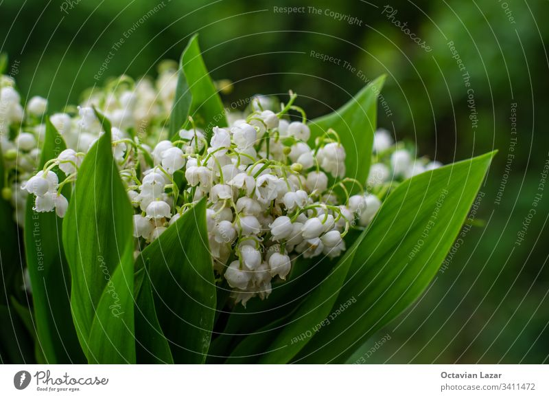 Lily of the valley bunch close up isolated against green background flower spring nature plant floral bouquet white blossom lily season garden bloom may lilly