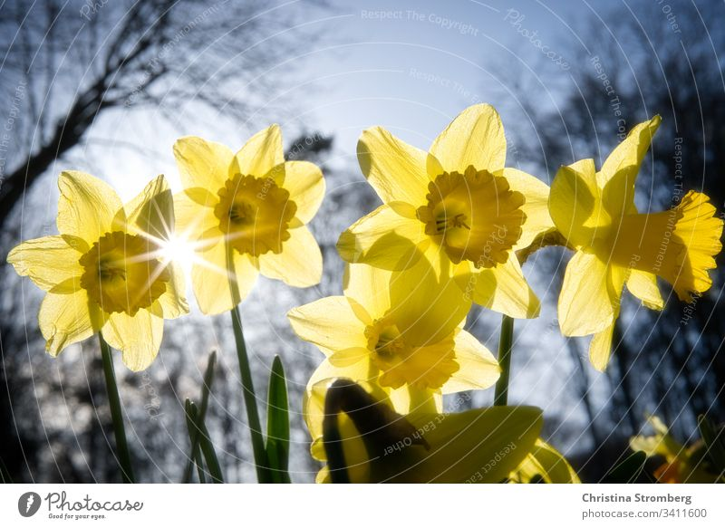Spring is approaching beautiful bloom blossom bright daffodil daffodils daffodils field easter flora floral flower fun gardening narcissus narcissus flowers