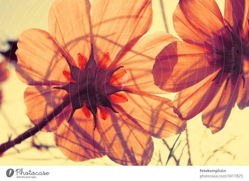 "light-flooded blossom petals Blossom Cosmea"" Flower luminescent Blossom leave pink flower Spring fever Summer Blossoming Brilliant Summer feeling"