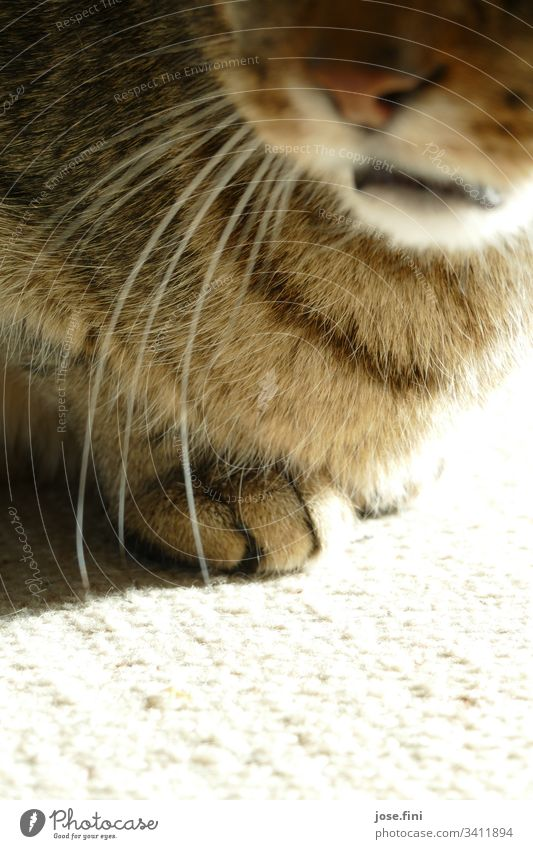 The paws peek out cheekily from under the fur, at the same time the mouth mediates, don't touch them! Animal Pet Soft Brown Gray Spring fever Love of animals