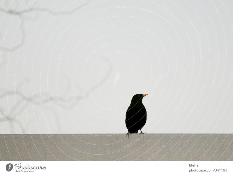 black Environment Nature Animal Plant Tree Branch Roof Bird Blackbird 1 Crouch Looking Sit Free Small Natural Curiosity Gloomy Gray Individual Colour photo