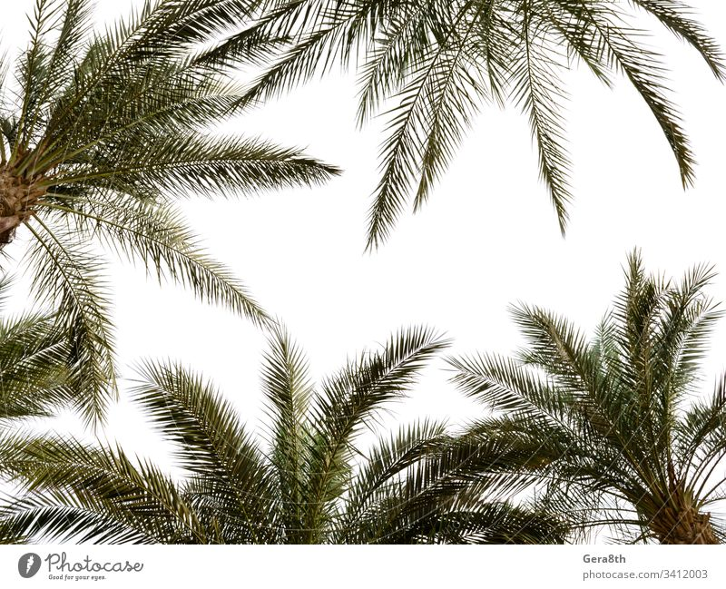 high palm trees pattern on white background Egypt Sharm El Sheikh branches bright climate colorful green hot leaves natural nature palm background