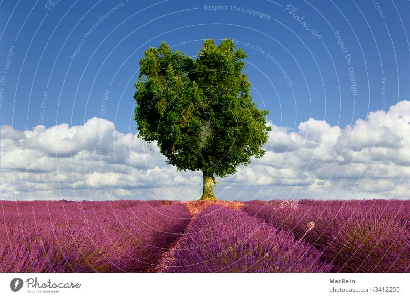 Olive tree and lavender fields Lavender Lavender field out Provence tourism voyage nobody Copy Space Southern France Europe purple cloud Sky