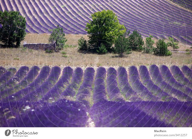 Lavender fields in the south of France lavender fields Southern France Cote d'Azur Tourist Attraction destination vacation holiday purple nobody Copy Space