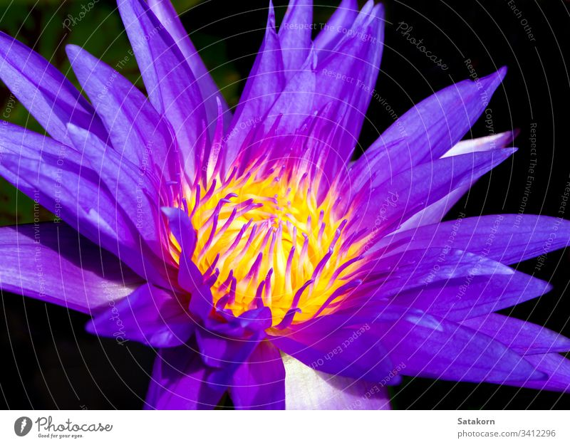 Blue petal and yellow pollen of water Lily lily white aquatic tropical flower nature macro background beautiful blossom blue botany flora fresh garden life