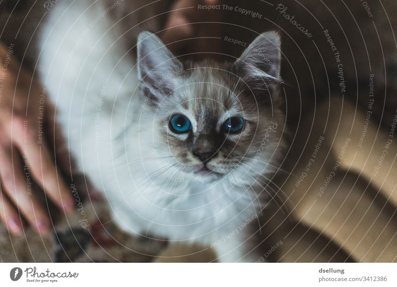 Cat with blue eyes looks into the camera Animal Pet holy Burma 1 Observe Relaxation Lie Looking Beautiful White Turquoise Blue Cute Curiosity Watchfulness