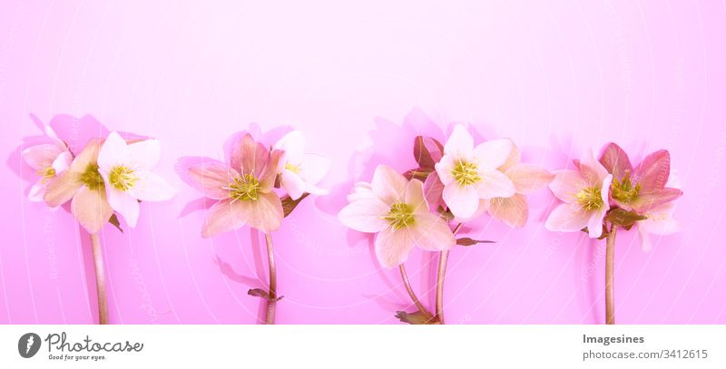 Panorama Christmas roses - Helleborus. Flower border with Hellebore flowers (Christmas rose) isolated. horizontal pattern on pink background. Nice greeting card.