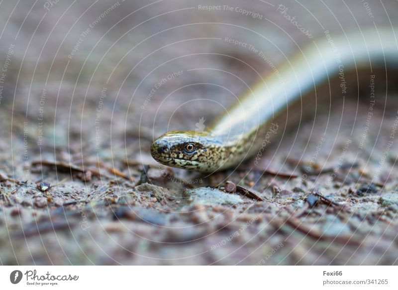 "I see you..... Climate Meadow Woodground ""Slow-worm Sneak"" 1 Animal Cold Long Curiosity Thin Speed Brown Yellow White Safety Attentive Calm Movement Uniqueness"
