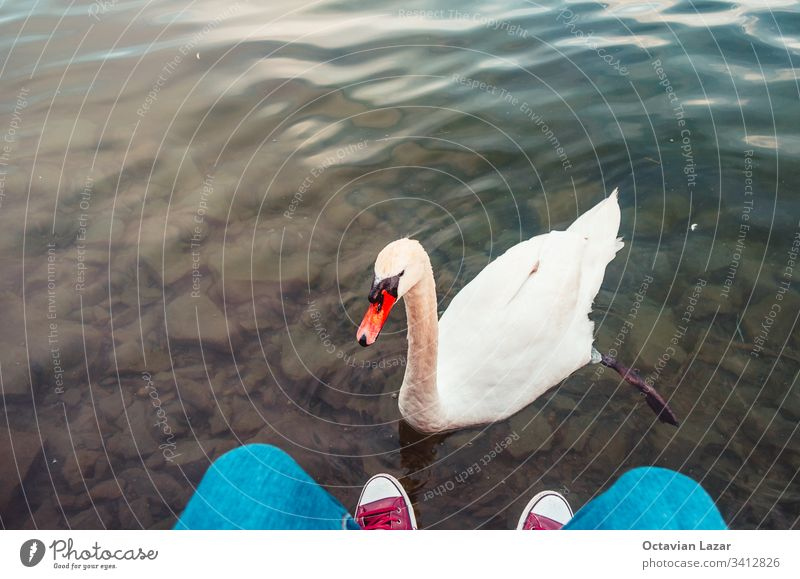 Curious swan swims in close to interact with tourist legs and sneakers 2019 lake Lucerne Switzerland shoes human curiosity lucerne swiss interaction europe