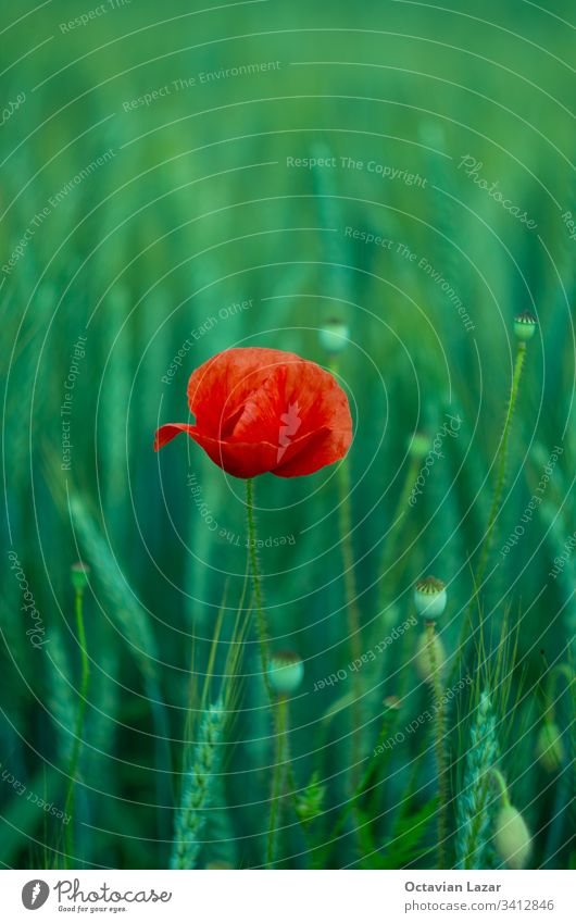 Red poppy flower in a green field of wheat vertical meadow landscape red rural wild bud clear countryside blossom herbal beautiful petal plant plants idyllic