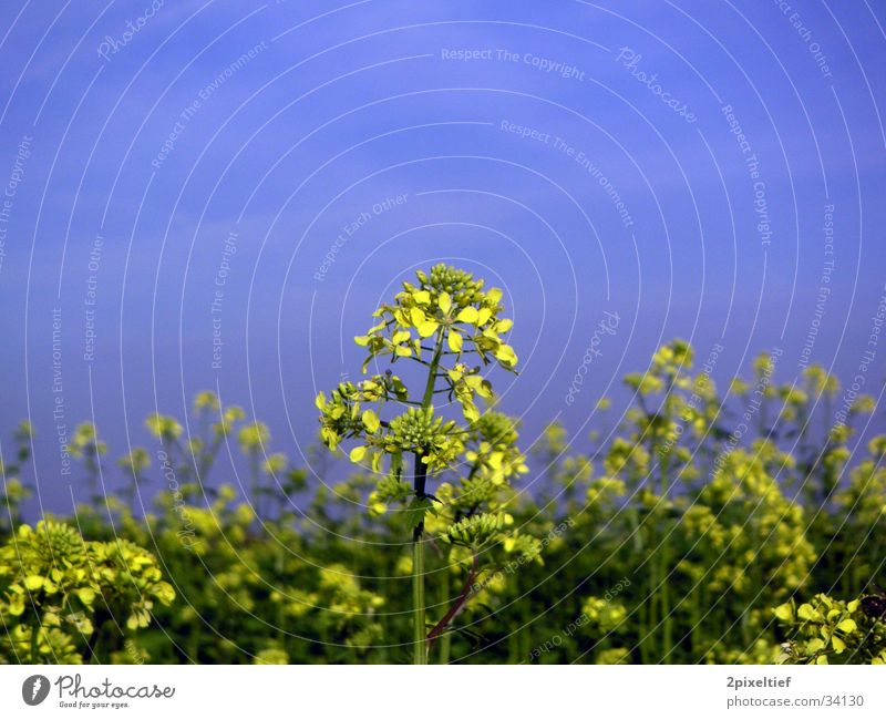 Yellow Flower #1 Field Beautiful weather Green Detail Blue