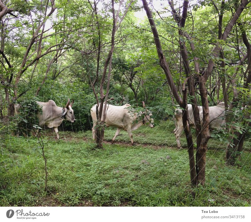 Three Cows cows India Farm animal Exterior shot Animal Nature Green Agriculture Cattle Line Cattle farming Willow tree Day Livestock Herd Environment Holy