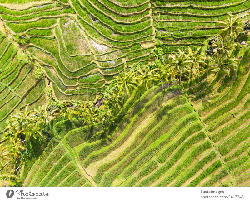 Drone view of Jatiluwih rice terraces and plantation in Bali, Indonesia, with palm trees and paths. bali aerial pattern rice field rice fields agriculture asia