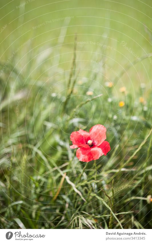 Flowering poppy in a green field on a sunny day during spring Poppy Blossom Flowering plant Blooming bloom Green Field Grass Sun Spring Blossoming Peaceful