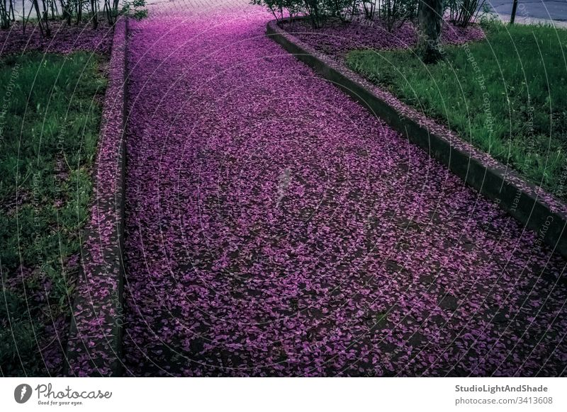 Spring alley covered in purple flower petals flowers fallen road street path park pavement garden spring springtime green emerald blossoming bloom blooming dark