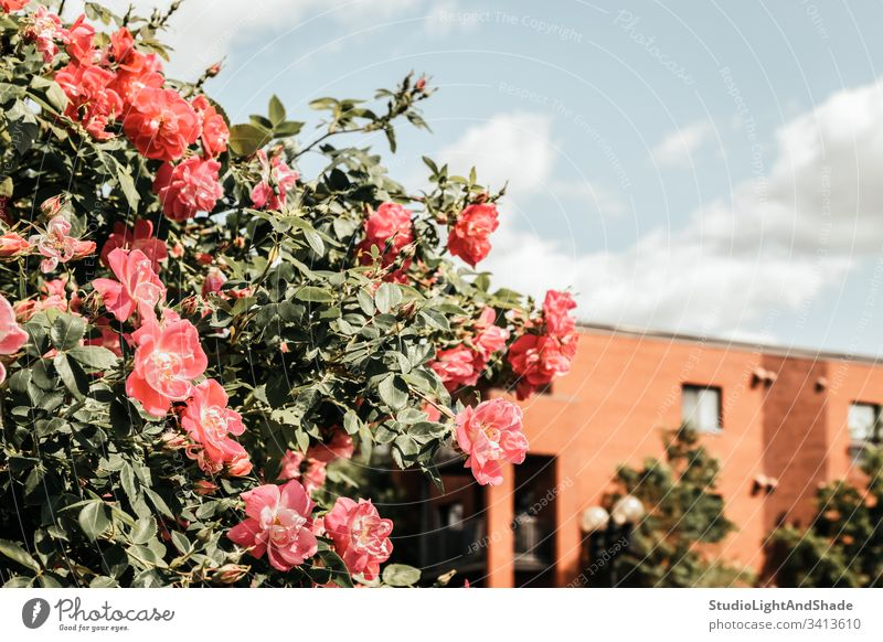 Wild roses blooming in front of a brick building house home wild dog rose dog roses spring springtime bush blossoming flowers flowering blue sky clouds Canada