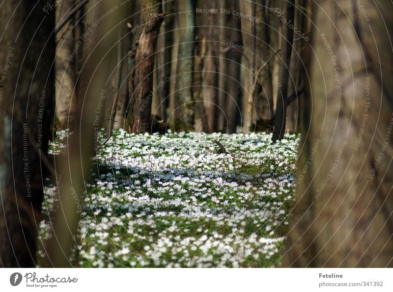 fairytale forest Environment Nature Landscape Plant Tree Flower Blossom Meadow Forest Natural Brown Green White Spring flowering plant Wood anemone Colour photo