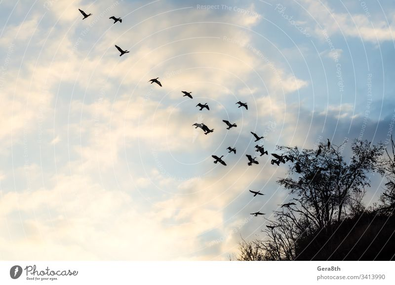 flying flock of birds against the blue sky and clouds branches ducks flock of ducks nature plants silhouette silhouette of birds trees white clouds