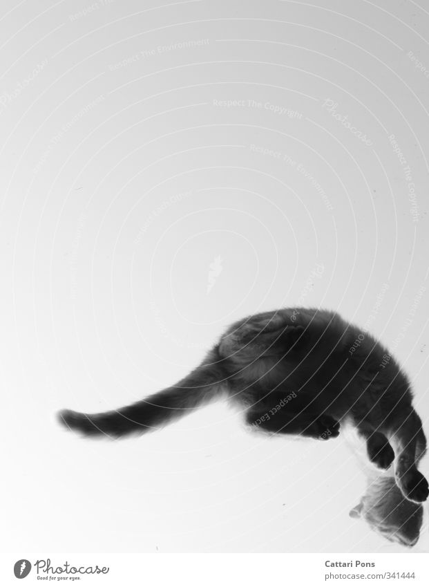 escapeable Animal Pet Cat 1 Glass Touch Make Sit Uniqueness Crazy Wild Paw Tails Skylight Above Worm's-eye view Black & white photo Copy Space left