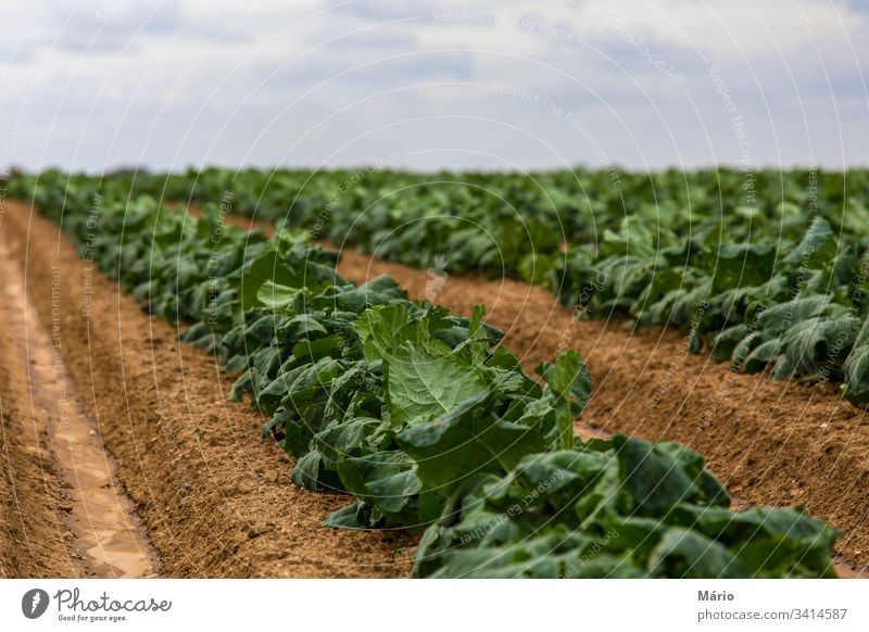 Cabbage Field Sprouts agriculture bio sky garden field harvest produce row plant healthy eating farmland plantation growth veggie crop summer in a row