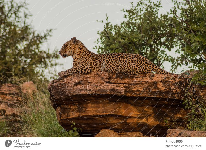 A leopard bathing on a rock in Samburu Park Africa Kenya animal big black carnivore cat clouded dangerous feline jungle kilimanjaro leopards mammal national