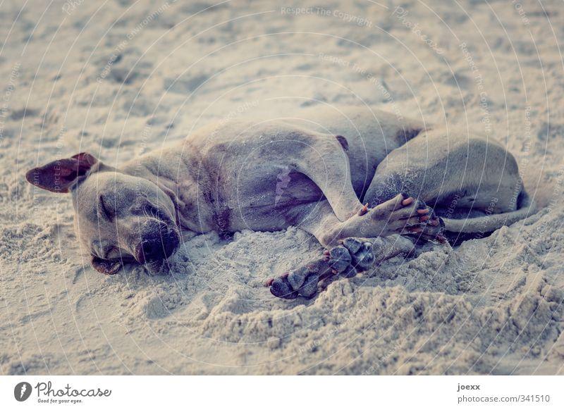 Beach. Good. Pet Dog 1 Animal Lie Sleep Dirty Simple Brown Emotions Joy Happy Joie de vivre (Vitality) Safety (feeling of) Love of animals Calm Relaxation