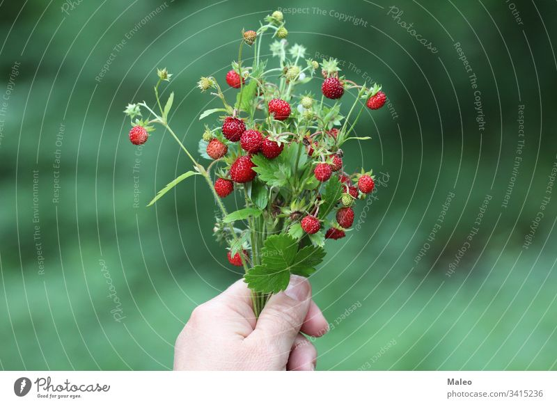 Bouquet of strawberries in hand background berry federation bushes Close-up Colour variegated Delicious Dessert Diet Farm Field Eating Fresh freshness fruit