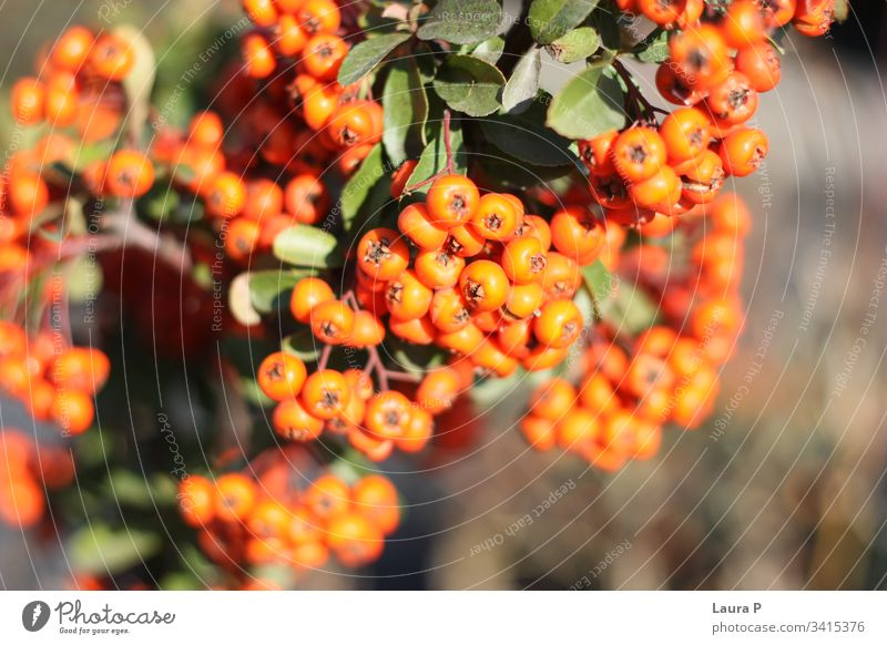 Close up of small round orange berries berry orange round close-up rounded freshness botanical decoration colorful ornamental seasonal crop aucuba cereal