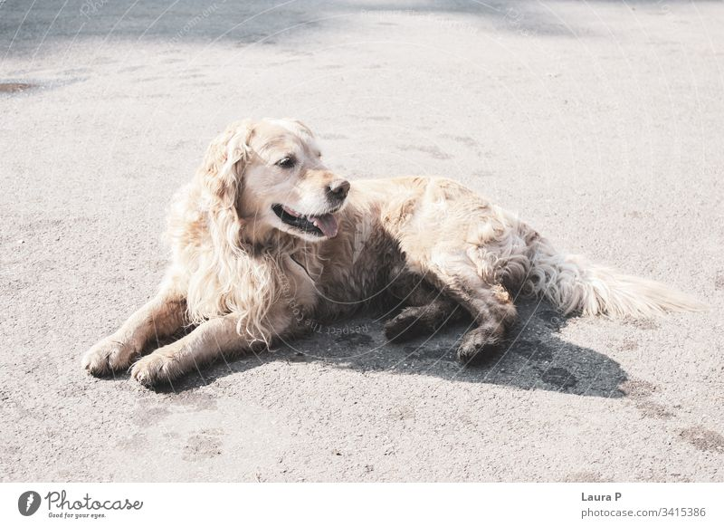 Beautiful golden retriever sitting friendly happy dog in the park dog portrait fur creature goldie outside playing dirty outdoors purebred fun background