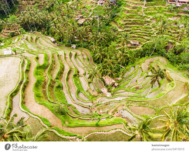 Drone view of Tegalalang rice terrace in Bali, Indonesia, with palm trees and paths for touristr to walk around plantations bali aerial pattern rice field