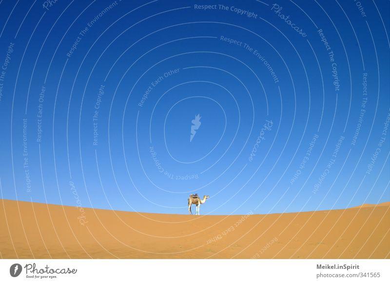 The camel. Sand Climate Warmth Drought Desert Sahara Dune Erg Chebbi Farm animal Camel 1 Animal Hot Blue Brown Yellow Warm-heartedness Thirst Wanderlust