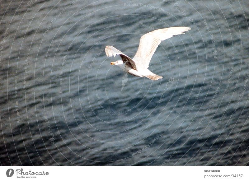 seagull in flight Seagull Bird Ocean Air Flying Water Blue