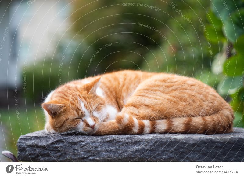 Ginger cat sleeping on a rock outdoors in the summer time, isolated pet domestic animal cute fur pretty adorable rest orange color feline portrait hair kitty