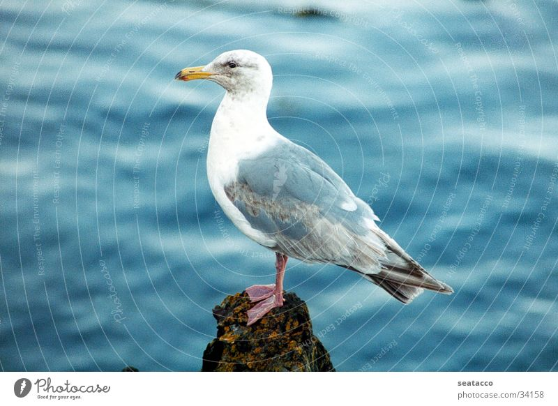 Water Ocean Blue Rock Seagull Bird