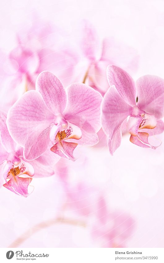 Beautiful floral background. Pink orchids Phalaenopsis close-up. Vertical format. pink phalaenopsis vertical beautiful nature bloom flower blossom petal
