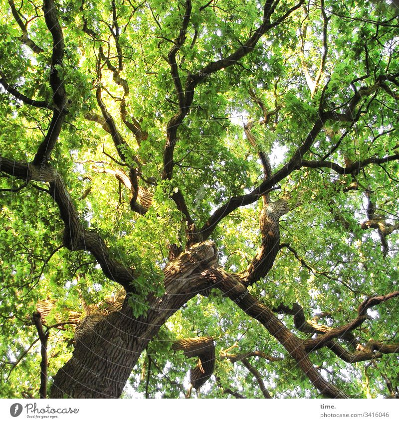 Climate change | forward back to the original Tree Oak tree Treetop branches Branch leaves Green Growth Tall Fresh Dignified Nature co2 Airy Protection Safety